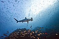Costa Rica, Cocos Island, scalloped hammerhead and school of yellowtail snappers - ZC000222