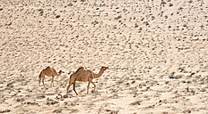 Arabia, Oman, two dromedaries at Wahiba Sands - HLF000869