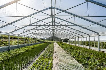 Germany, Organic herbs and kohlrabi growing in greenhouse - TCF004657