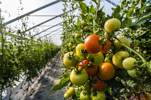 Germany, Organic tomatoes growing in greenhouse - TCF004659