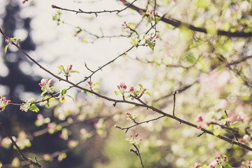 Twigs of blossoming apple tree - SBDF001831