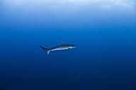 Silky shark, Carcharhinus falciformis - ZC000227