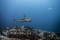 Costa Rica, Galapagos shark, Carcharhinus galapagensis and fish - ZC000228