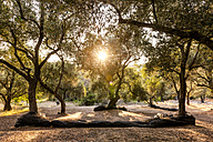 Greece, Corfu, olive orchard at sunset - EGBF000045