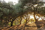 Greece, Corfu, olive orchard at sunset - EGBF000050