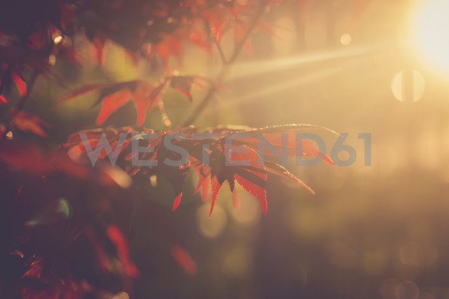 Red maple leaves at evening sunlight - SARF001788