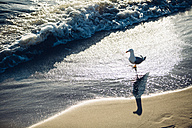 Germany, Baltic Sea, seagull on a beach at sunrise - ASCF000169