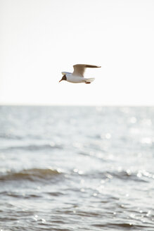 Germany, Baltic Sea, flying seagull - ASCF000178