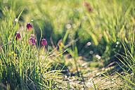 Germany, Brandenburg, Snake's Head Fritillary on a meadow - ASCF000172