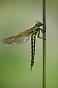 Hairy dragonfly hanging on blade of grass - MJOF000988