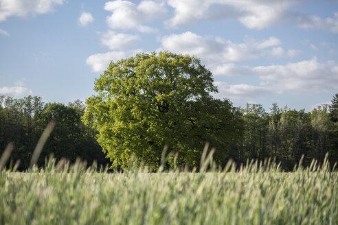 Germany, Brandenburg, old oak tree in spring - ASCF000164