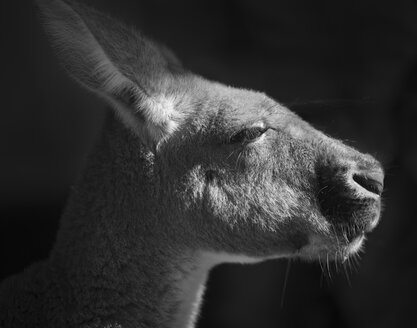 Australia, New South Wales, portrait of a kangaroo - JBF000249