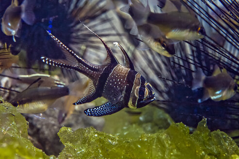 Indonesia, Bali, Secret Bay, Banggai cardinalfish - ZC000234