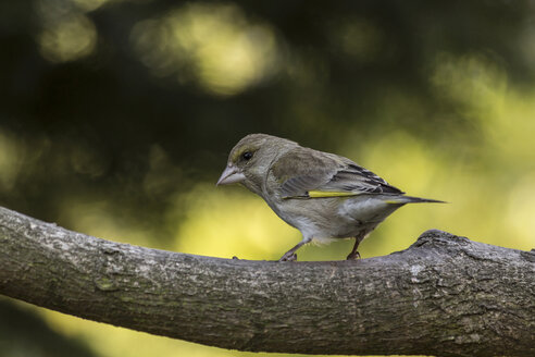 Female greenfinch on a branch - MELF000057