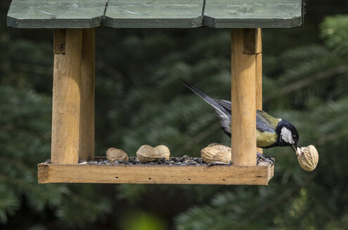 Great tit eating piece of peanut in a birdhouse - MELF000059