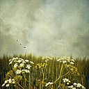 Yarrow on a meadow in front of cloudy ska - DWI000504