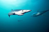 South Africa, Blue shark, Prionace glauca - GNF001325