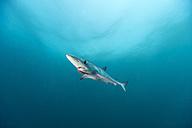 South Africa, Blue shark, Prionace glauca - GNF001328