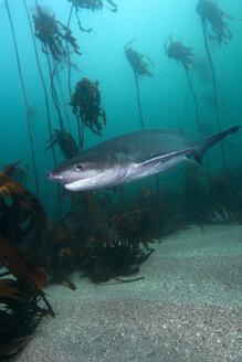 South Africa, Ocean, Broadnose sevengill shark, Notorynchus cepedianus - GNF001330