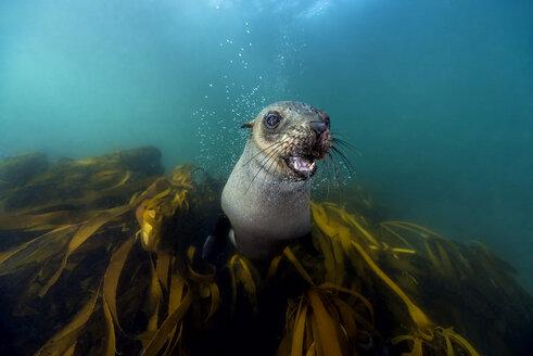 South Africa, Ocean, South african fur seal, Arctocephalus pusillus - GNF001331