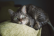 Tabby cat liying on the top of a couch at home - RAEF000189