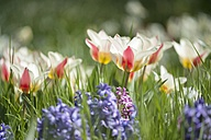 Tulips and hyacinths on a meadow - ELF001497