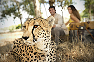 South Africa, portrait of a cheetah in front of two people - TOYF000966
