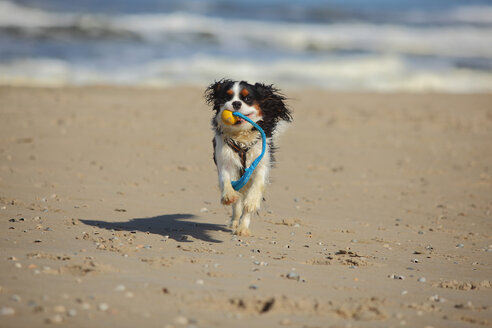 Netherlands, Texel, Cavalier King Charles Spaniel retrieving dog toy on the beach - HTF000724