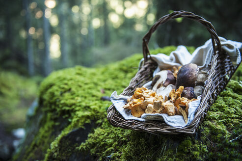 Wickerbasket of collected chanterelles and boletuses in a forest - HHF005337
