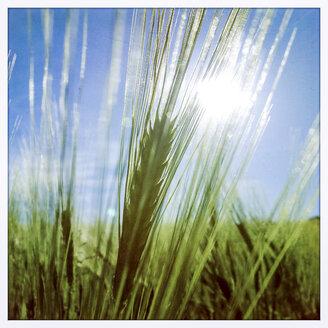 Grain field - EGBF000096