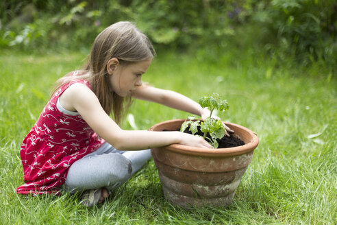 Little girl potting tomato plant in a garden - SARF001832
