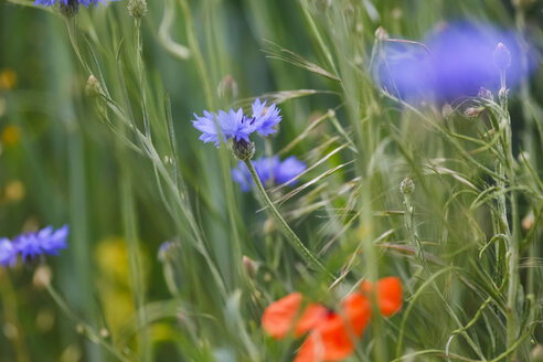 Cornflowers, close-up - JTF000669