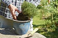 Gardener planting thyme in a pot - HAWF000795