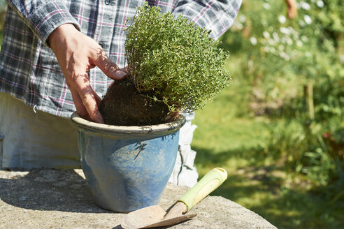 Gardener planting thyme in a pot - HAWF000795
