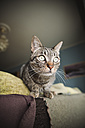 Portrait of tabby cat on backrest of a couch - RAEF000192