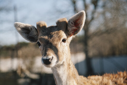Deer, Portrait of young animal - BZF000157