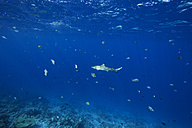 Maldives, shark and other fish in the Indian Ocean - STKF001306