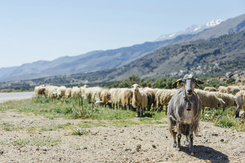 Greece, Crete, Flock of sheep by road - STDF000191