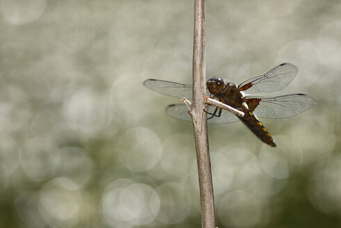 Broad-bodied Chaser - MJOF001016