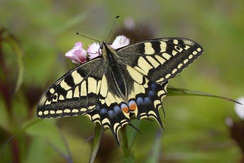 Swallowtail - MJOF001013