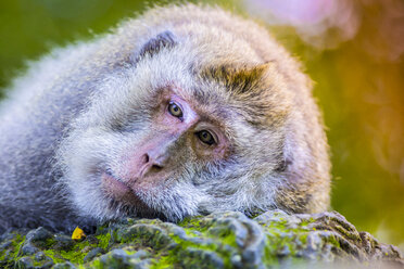 Indonesia, Bali, Ubud, portrait of tired monkey at Sacred Monkey Forest - KNTF000052