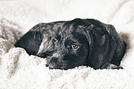 Portrait of young black and white dog lying on a blanket - ASCF000189