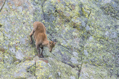 Switzerland, Lac de Cheserys, Alpine Ibex at rock face - LOMF000018