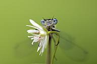 Azure damselfly, Coenagrion puella, perching on blossom - MJO001023