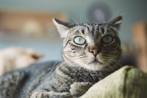 Portrait of tabby cat lying on backrest of a couch - RAEF000215
