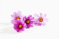 Mexican aster, Cosmos bipinnatus, blossoms - CSF025894