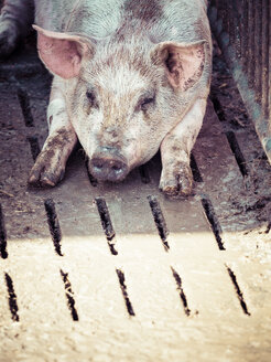 Germany, domestic pig having a rest - KRPF001469