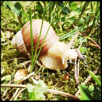 Creeping snail,Helix pomatia, in grass - SRSF000589