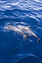 Spain, Andalusia, Bottlenose Dolphins, Tursiops truncatus - KBF000334