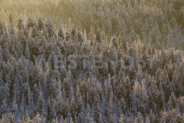 Germany, Saxony-Anhalt, Harz National Park, Coniferous forest in the evening light - PVCF000428